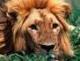 avatar kiki le lion